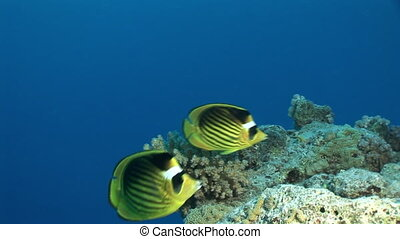 Butterfly fish in corali underwater in Red sea.