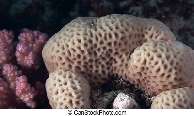 Corals in the form of sphere on background underwater landscape in Red sea.