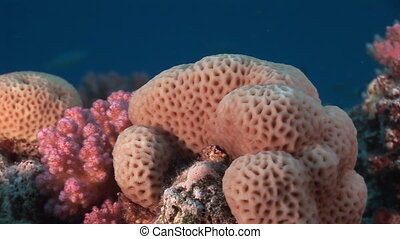 Corals in the form of sphere underwater in Red sea.