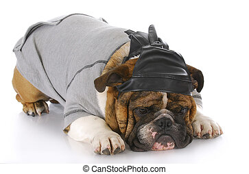 dog wearing leather skull cap - english bulldog wearing...