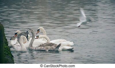 Swans and gulls on the river. - London. England. United...