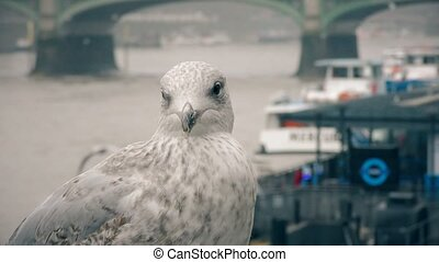 Seagull on the bank of the River Thames. - London. England....