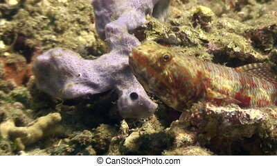 Sea goby on seabed in search of food in ocean of wildlife...