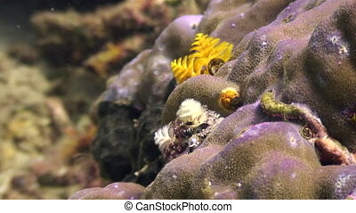 Yellow sea worms in coral in ocean of wildlife Philippines....