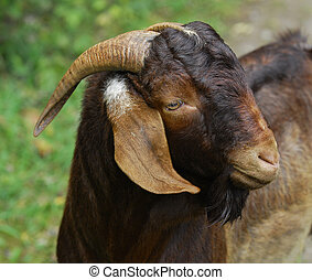 boer buck portrait outside - goat - South African Boer buck...