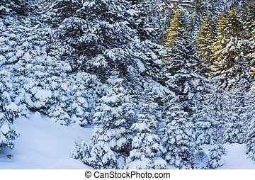 Ziria mountain fir trees covered with snow on a winter day,...
