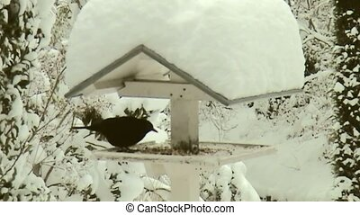 Blackbird in feeding housin the nice snow world. - Bird...