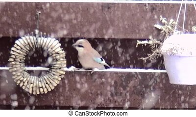 Jay eating in the snow. - Jay eating in the garden in the...