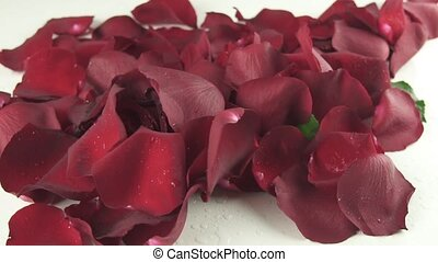 Petals wind blows with a red rose on white background slow motion stock footage video