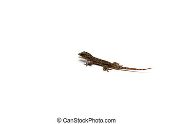 House lizard isolated on white background.