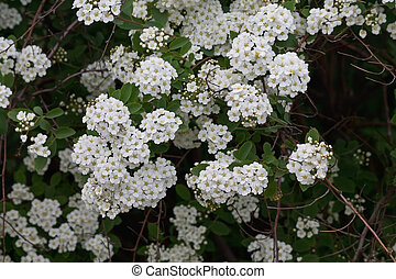 meadowsweet flowering bush with white flowers closeup