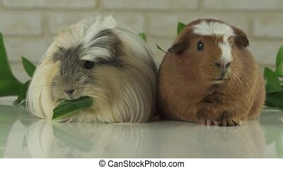 One guinea pig eating cucumber and second thought stock footage video