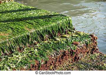 seagrass on the rock,seaweed on the rock,moss,algae -...