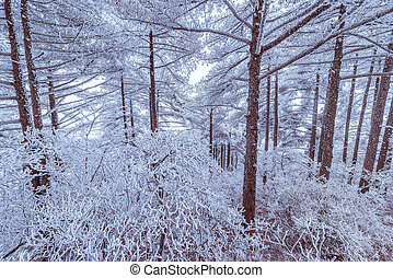Frozen trees in Huangshan National park. China.