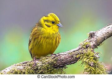 Yellowhammer on mossy branch - Yellowhammer (Emberiza...