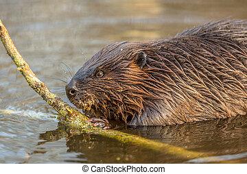 Eurasian beaver in water