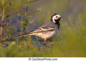 white wagtail foraging in grassland - white wagtail...