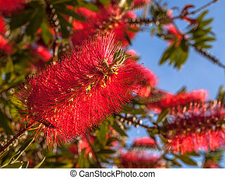 Red flowers of Pohutukawa tree - Red flowers of the...