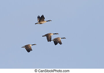 Group of Canada Geese Migrating in Spring - Ontario, Canada...