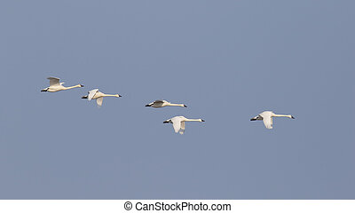 Group of Tundra Swans Migrating in Spring - Ontario, Canada...