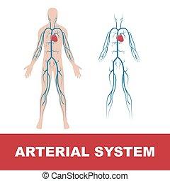 arterial system - vector illustration of human arterial...