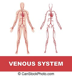 venous system - vector illustration of human venous system...