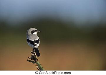 Loggerhead Shrike on a Palm