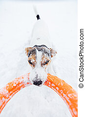 Jack Russell in the snow plays with his toy