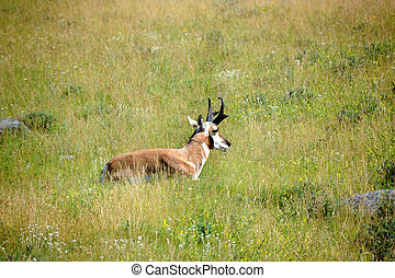 Pronghorn Has Antlers - Lone pronghorn sheep lays in a...