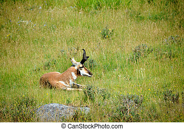 Pronghorn Rests in Meadow - Pronghorn sheep rests in a field...