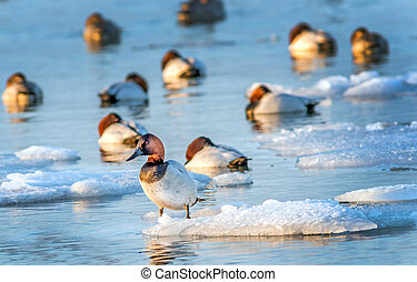Canvasback duck standing on ice in the Chesapeake bay -...
