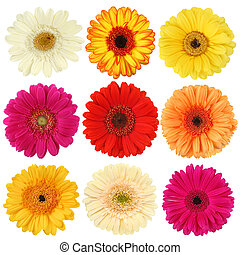 Daisy flower collection isolated on white background