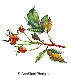 A branch of Dog rose (Briar) with red berries and green...