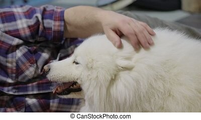 host stroking the dog Samoyed
