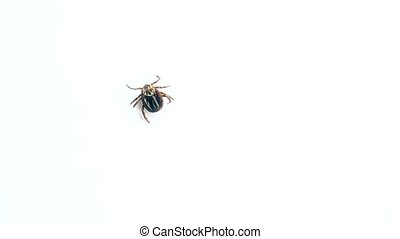 Dermacentor. Hard tick crawls on white background -...
