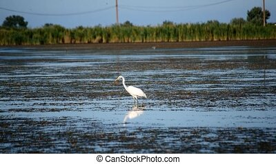 Great egret, a white heron stands in wetlands