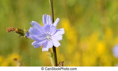 Common chicory flower. Cichorium intybus - One common...