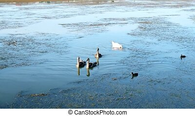 Grey cygnets with white mute swan parent and coot birds on...