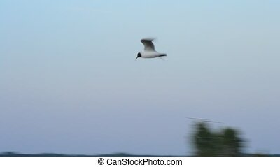 Seagull flies over calm water surface on Dnieper river on...
