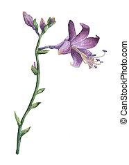 Branch of purple hosta flower isolated on white. Hosta...