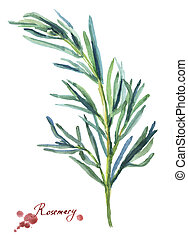 Rosemary. Hand drawn watercolor painting on white...