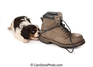 Puppy with old boot - Baby king charles spaniel playing with...