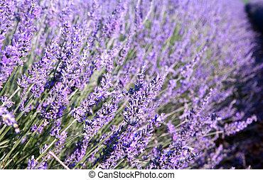 closeup, Lavendel