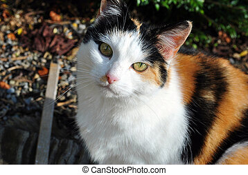 calico cat - close up of a calico cat