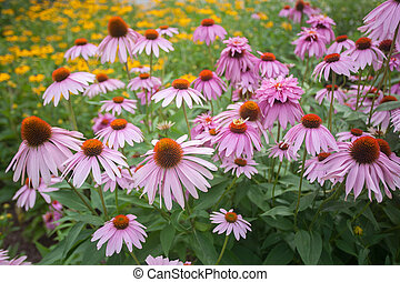 Echinacea - Lovely echinacea in full bloom and black eyed...