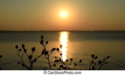 Dry plant on background of sunrise over water - Silhouette...