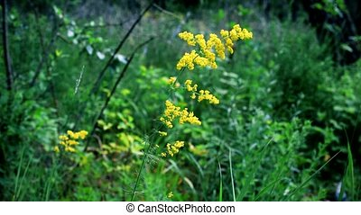 Lady's bedstraw on vibrant lush green grass background -...