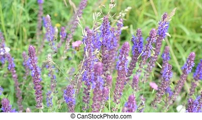 Sage flowers in a meadow with bees - Wild purple sage...