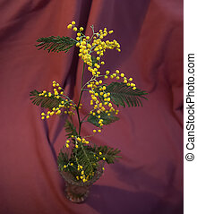 Branch of the Acacia dealbata on red