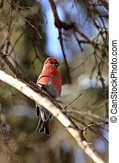 Pine Grosbeak in Winter